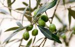 Олива как источник дохода