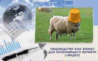 Овцеводство – прибыльный бизнес для начинающего фермера