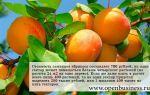 Свой бизнес по выращиванию абрикосов