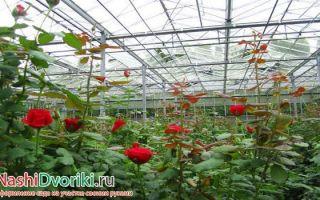 Выращивание роз в теплицах: рентабельность до 300%