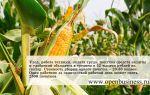 Рентабельность бизнеса по выращиванию кукурузы 800%