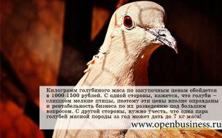 Разведение голубей как бизнес: сколько можно заработать?