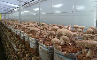 Свой грибной бизнес: начать производство шиитаке