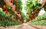 Рентабельность бизнеса по выращиванию клубники 100%
