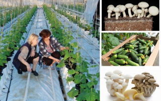 Выращивание огурцов прибыльный бизнес