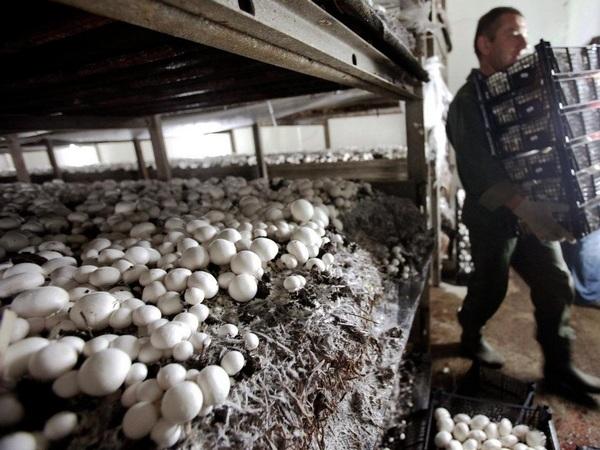 Выращивание грибов как бизнес в домашних условиях
