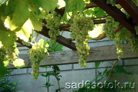 Виноград в теплице – в чем особенности выращивания{q}